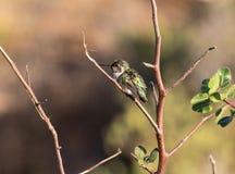 蜂鸟休息 免版税图库摄影
