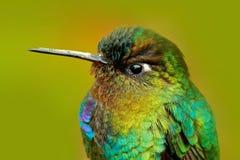 蜂鸟光滑的全身羽毛细节  火热红喉刺莺的蜂鸟, Panterpe insignis,颜色鸟坐落叶松属分支 山 免版税库存照片