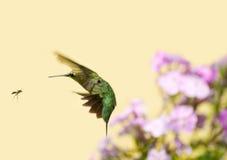 蜂鸟出逃黄蜂。 免版税库存图片