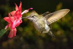 蜂鸟和她喜爱的红色花 库存图片