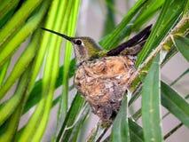 蜂鸟和巢 免版税库存照片