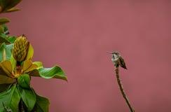 蜂鸟和木兰树 免版税库存照片