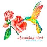 蜂鸟和木槿 热带花,鸟 查出 水彩 您的设计的传染媒介 免版税库存图片