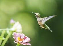 蜂鸟和百日菊属 图库摄影