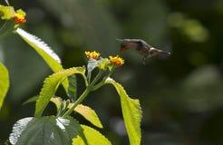 蜂鸟和花 图库摄影