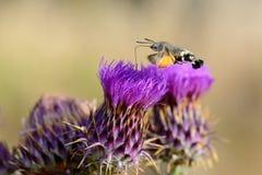 蜂鸟哺养在花的天蛾 免版税库存图片