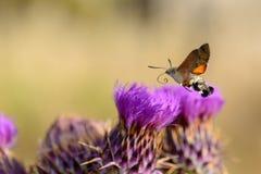 蜂鸟哺养在花的天蛾 库存图片