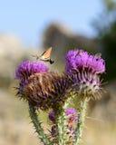 蜂鸟哺养在花的天蛾 免版税库存照片