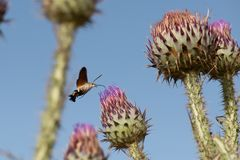 蜂鸟哺养在花的天蛾 库存照片