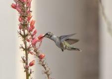 蜂鸟哺养在花的,霍尔公园, Frisco,得克萨斯 免版税库存照片