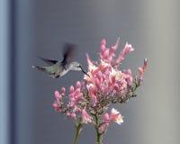 蜂鸟哺养在花的,霍尔公园, Frisco,得克萨斯 免版税库存图片