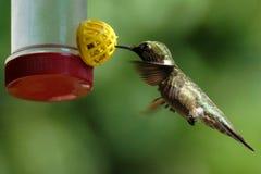 蜂鸟哺养 免版税图库摄影