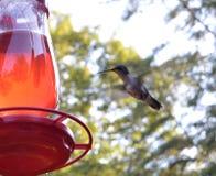 蜂鸟哺养 库存图片