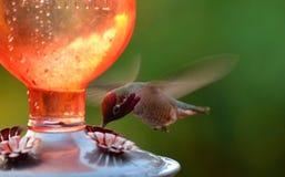 蜂鸟啜饮的花蜜 免版税库存图片