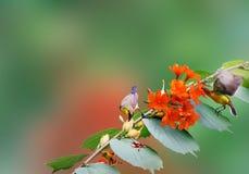 蜂鸟喝 免版税库存照片