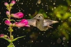 蜂鸟在下雨天中参观花 免版税图库摄影