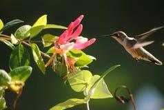 蜂鸟在伊利诺伊 免版税库存照片
