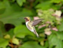蜂鸟在庭院里 库存照片