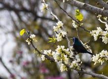 蜂鸟在春天 图库摄影