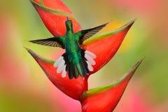 蜂鸟在美丽的鹤望兰红色花旁边白盯梢了Sabrewing飞行 库存照片