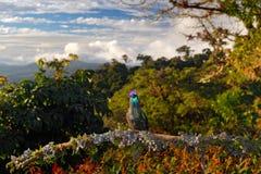 蜂鸟在自然森林栖所 壮观的蜂鸟, Eugenes fulgens,好的鸟,使用广角镜头 野生生物场面 图库摄影