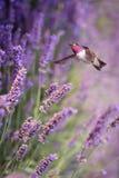 蜂鸟在飞行中与淡紫色花 库存图片