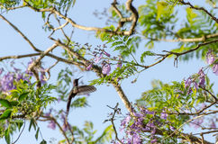 蜂鸟在飞行中在米纳斯吉拉斯州,巴西 图库摄影