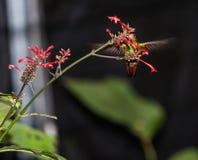 蜂鸟在飞行中在花 图库摄影