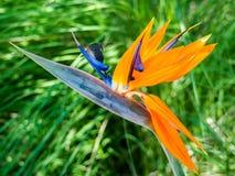 蜂鸟在从天堂鸟的花蜜哺养花 免版税库存图片