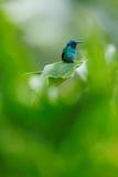 蜂鸟在绿色栖所 蜂鸟绿色紫罗兰色耳朵, Colibri thalassinus,与绿色花在自然生态环境 鸟从 免版税库存照片