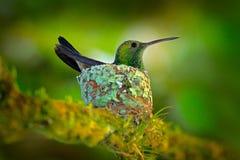 蜂鸟坐在巢的鸡蛋,特立尼达和多巴哥 铜rumped蜂鸟, Amazilia tobaci,在树, wildlif 免版税库存图片