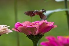 蜂鸟天蛾 免版税库存图片