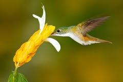 蜂鸟安地斯山的绿宝石, Amazilia franciae,与黄色花,明白绿色背景,哥伦比亚 从自然的野生生物场面 免版税库存图片