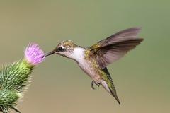 蜂鸟少年红宝石红喉刺莺 免版税库存图片