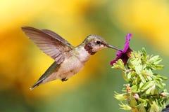 蜂鸟少年红宝石红喉刺莺 库存照片