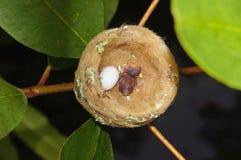 蜂鸟巢用一个鸡蛋和一个婴孩 库存图片