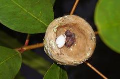 蜂鸟巢用在一个婴孩的一个鸡蛋 免版税库存照片