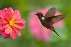 蜂鸟布朗印加人, Coeligena wilsoni,飞行在美丽的桃红色花旁边,桃红色绽放在背景,哥伦比亚中 免版税库存图片