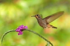蜂鸟布朗紫罗兰色耳朵, Colibri delphinae,在美丽的桃红色花,好的开花的橙色绿色背景旁边的鸟飞行, 免版税图库摄影