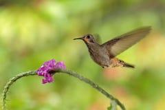 蜂鸟布朗紫罗兰色耳朵, Colibri delphinae,飞行在美丽的桃红色花旁边,好的开花的橙色绿色背景,费用 免版税库存照片