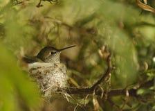 蜂鸟平静地坐微小的巢 库存图片