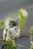 蜂鸟年轻人 免版税库存图片