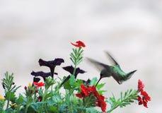蜂鸟所有的红宝石  免版税库存图片