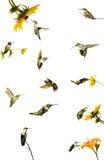 蜂鸟拼贴画。 免版税库存照片