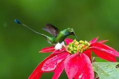 蜂鸟是盘旋和喝从美丽的花的花蜜 免版税图库摄影