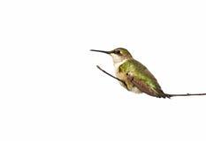 蜂鸟查出的休息 免版税库存图片