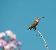 蜂鸟栖息 免版税图库摄影