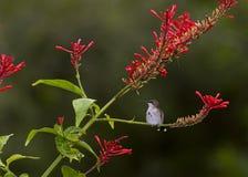 蜂鸟栖息 免版税库存图片