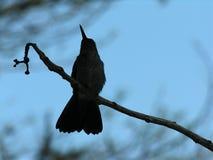 蜂鸟现出了轮廓 免版税库存照片