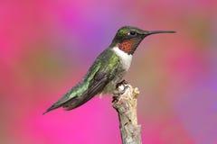 蜂鸟男性红宝石红喉刺莺 免版税库存照片